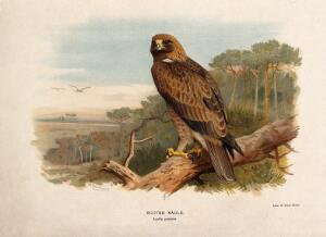 view A booted eagle (Aquila pennata). Chromolithograph by W. Greve after A. Thorburn, ca. 1885.