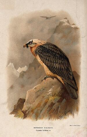 view A bearded vulture (Gypaetus barbatus). Chromolithograph by W. Greve after A. Thorburn, ca. 1885.