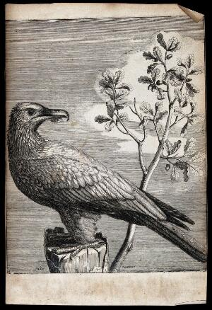 view A vulture. Engraving.