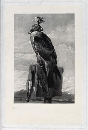 view A bird of prey harnessed for falconry. Mezzotint, ca. 1882.