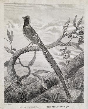 view A long-tailed bird: the violaceous jay (Corvus violaceus). Etching by Noble after C. R. Ryley.