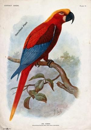 view An extinct parrot, Ara gossei, perched on a branch. Colour halftone after J. Smit.