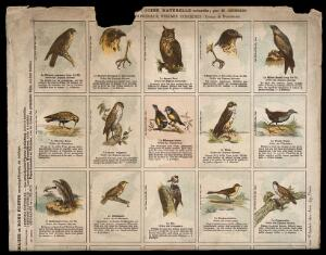 view Fifteen birds indigenous to France, including a falcon, buzzard, eagle, golden plover, blue tit and woodpecker. Chromolithograph after M. Georges.