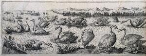view Swans swimming together and bickering in a lake. Engraving by H. Le Roy.