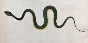 view An Indian snake, Bodroo Pam. Coloured engraving by W. Skelton, ca. 1796.