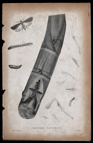 view A sugar cane borer moth: adult, pupa, anatomical segments and pupa in sugar cane. Etching by W. Raddon after the Revd. L. Guilding.