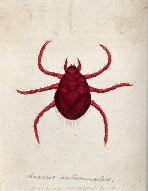 view An itch mite (Acarus autumnalis). Coloured etching, ca. 1790.