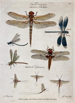 view Five dragonflies and four mayflies. Coloured engraving by J. Newton, ca. 1780, after J. Barbut.