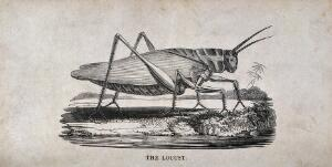 view A locust. Wood engraving.