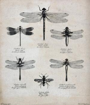view Six dragonflies and a wasp. Lithograph by G. Engelmann after P. Oudart.