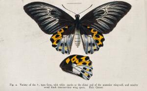 view A butterfly. Coloured lithograph.