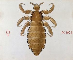 view A head louse (Pediculus humanus). Coloured drawing by A.J.E. Terzi.