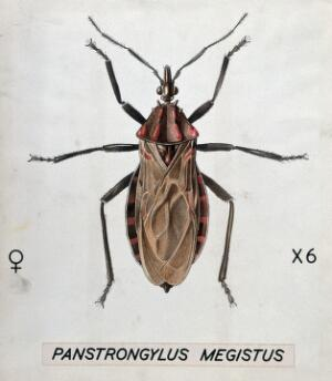view A barbiero bug (Panstrongylus megistus). Coloured drawing by A.J.E. Terzi.