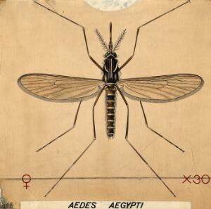 view An anopheles mosquito (Aedes aegypti). Coloured drawing by A.J.E. Terzi.