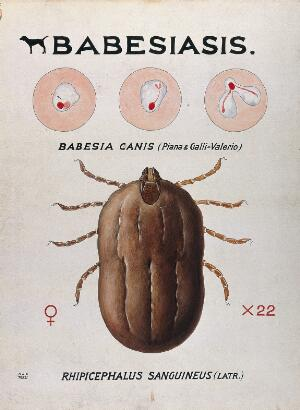 view Life-cycle stages of the parasite Babesia canis and its vector, the kennel tick (Rhicephalus sanguineus). Coloured drawing by A.J.E. Terzi.
