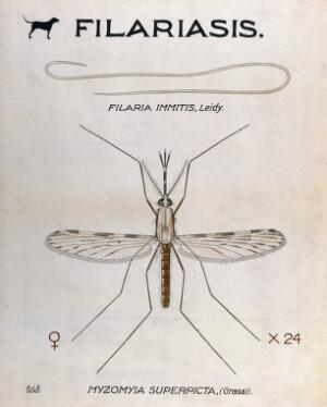 view A parasitic nematode (Filaria immitis) and its vector, the mosquito (Myzomyia superpicta). Coloured drawing by A.J.E. Terzi.