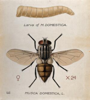 view The larva and fly of a house fly (Musca domestica). Coloured drawing by A.J.E. Terzi.