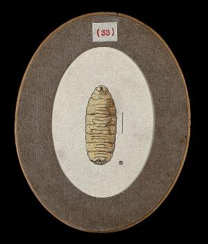 view The larva of the fly Cordylobia anthropophaga, called 'ver du Cayor'. Coloured drawing by A.J.E. Terzi, ca 1919.