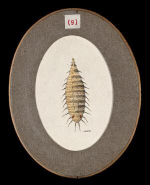 view The larva of the lesser house fly Fannia canicularis. Coloured drawing by A.J.E. Terzi, ca 1919.