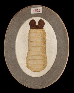 view The larva of a tsetse fly (Glossina palpalis). Coloured pen and ink drawing by A.J.E. Terzi, ca. 1919.