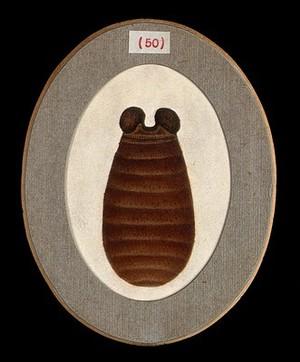 view The pupa of a tsetse fly (Glossina palpalis). Coloured pen and ink drawing by A.J.E. Terzi, ca. 1919.