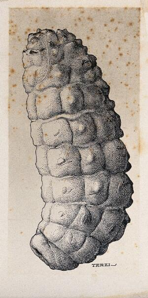 view The larva of the ox warble fly (Hypoderma bovis). Drawing by A.J.E. Terzi, ca 1919.