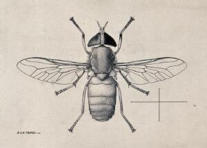 view A horse fly (Tabanus par). Pen and ink drawing by A.J.E. Terzi, ca. 1919.