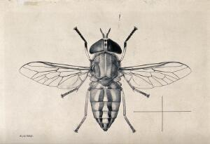 view A horse fly (Tabanus socius). Pen and ink drawing by A.J.E. Terzi, ca. 1919.