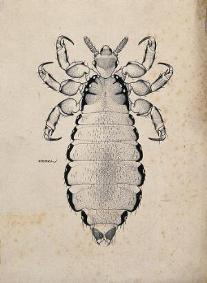 view The female body louse (Pediculus humanus humanus). Pen and ink drawing by A.J.E. Terzi, ca. 1919.