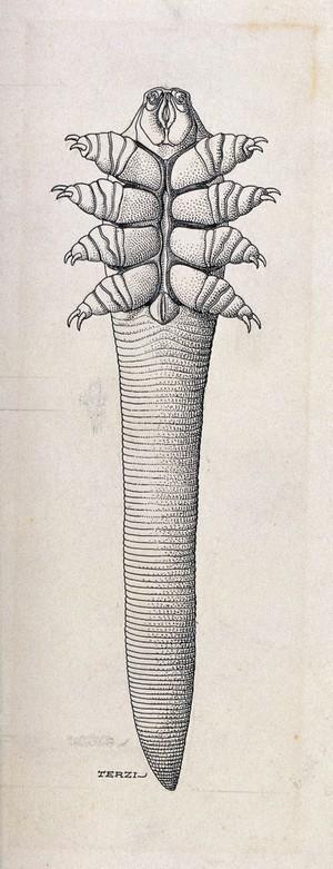 view The follicle mite (Demodex folliculorum). Pen and ink drawing by A.J.E. Terzi, ca. 1919.