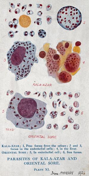 view Parasites of the tropical diseases kala-azar and oriental sore. Colour photomechanical reproduction of a drawing by A.J.E. Terzi, ca 1921.
