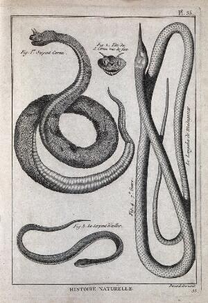 view Three snakes: a horned viper; a Madagascan langaha; a grass snake. Engraving, ca. 1778.