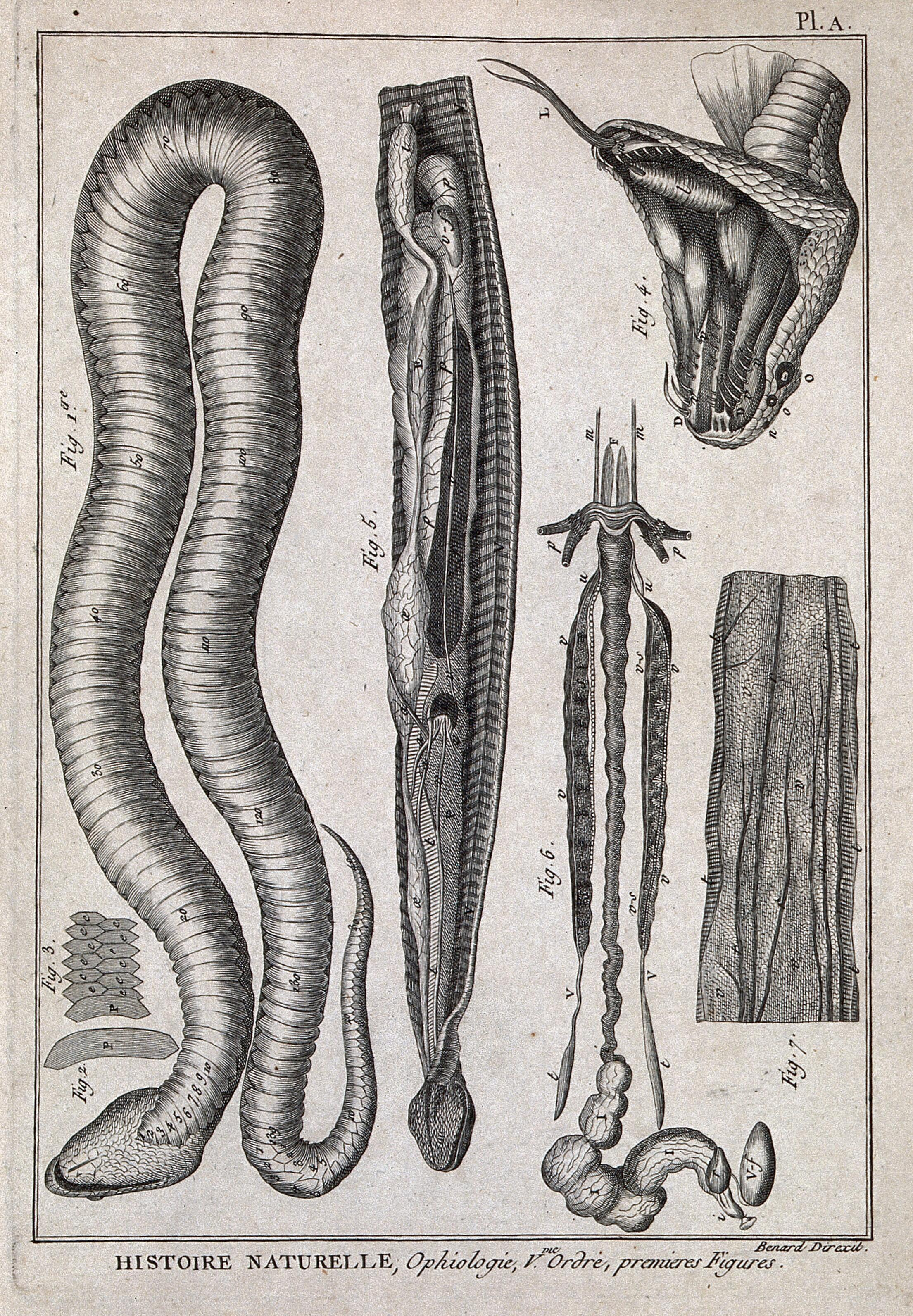 Snake anatomy: ventr… | Wellcome Collection