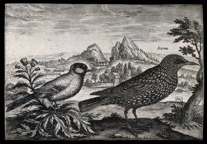 view A sparrow and starling set in natural surroundings. Etching by A. Collaert.
