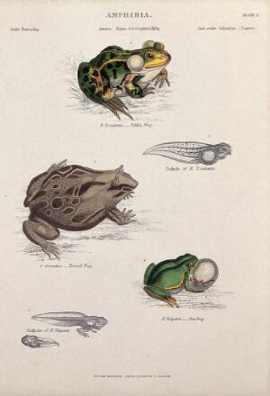 view The edible frog with tadpole, tree frog with tadpole and horned frog. Coloured engraving by J. W. Lowry after C. Bone.