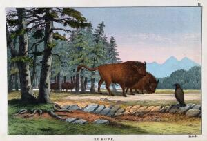 view Two wild oxen. Coloured lithograph.