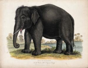 view Zoological Society of London: an elephant. Coloured etching.
