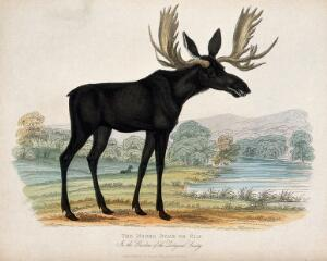 view Zoological Society of London: a moose deer or elk. Coloured etching.