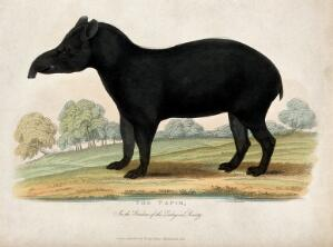 view Zoological Society of London: a tapir. Coloured etching.