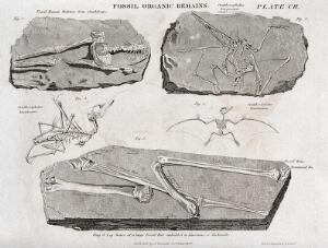 view Fossilized organic remains, including those of a human, an an ornithocephalus and a bat. Etching by W. H. Lizars.