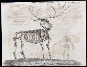 view The fossilised remains of a elk standing next to a human skeleton. Etching.