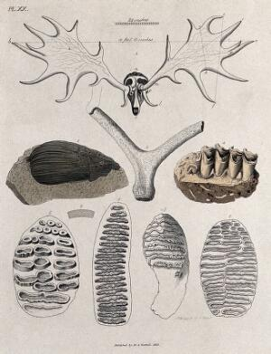 view The skeletal remains of a stag's antlers and cross-sections of its parts. Coloured etching by S. Springsguth.