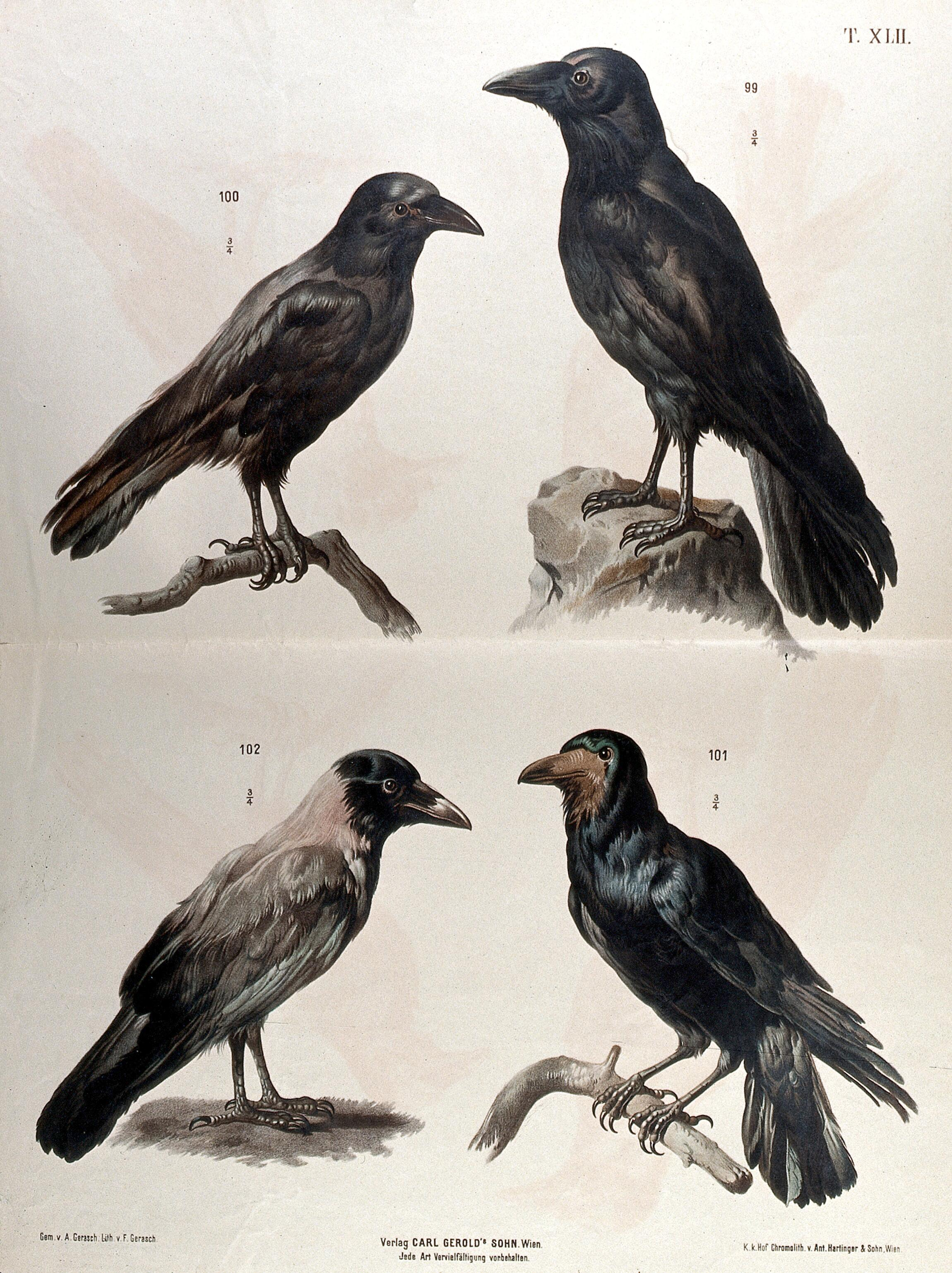Birds Of The Crow Family Four Figures Including A Crow A Raven And A Rook Chromolithograph By F Gerasch After A Gerasch 1860 1880 Wellcome Collection It's consistently great food and service with a welcoming, friendly, cozy ambiance. birds of the crow family four figures