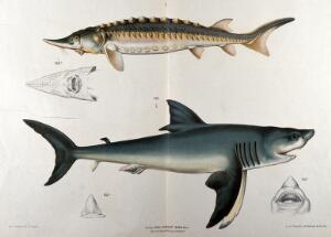 view Sharks: six figures of two varieties, including details of the mouths of each example. Chromolithograph by F. Gerasch after A. Gerasch, 1860/1880?