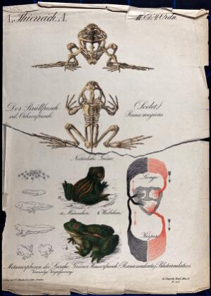 view Frogs: eleven figures showing the skeleton, circulatory system, and stages of development of the frog. Chromolithograph, 1877.