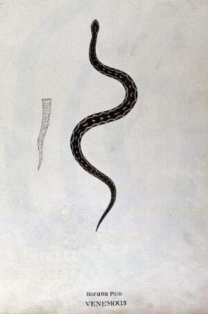 view A poisonous snake, dark brown in colour with pale patches edged with black: includes outline drawing of the tail. Watercolour, ca. 1795.