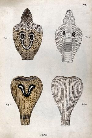 view Two poisonous snakes (Indian cobras): four figures showing the snakes' hoods, seen from above and below, indicating the distinctive 'spectacle'and 'V-shaped' markings. Watercolour, ca. 1795.