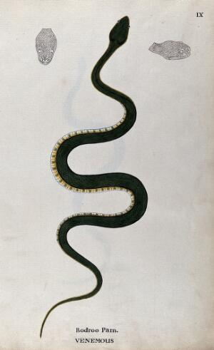 view A poisonous snake, green in colour with yellow and green underbelly: includes two outline drawings of the head. Watercolour, ca. 1795.