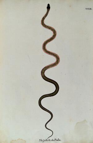 view A snake, slender and green in colour, with a darker zig-zag marking along its back and bands of pink running along each side of the upper body. Watercolour, ca. 1795.