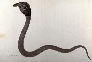 view Indian cobra, with 'spectacle' marking on hood